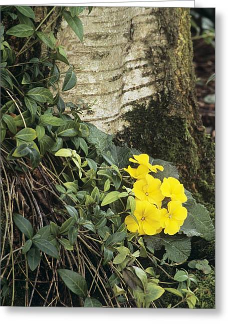 Vinca Flowers Greeting Cards - Primula wanda And Vinca Minor Greeting Card by Archie Young