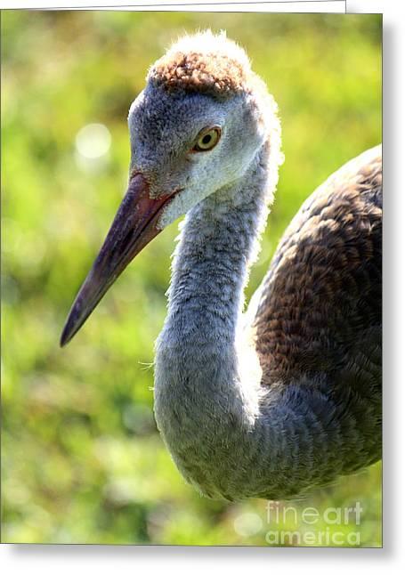 Sandhill Cranes Greeting Cards - Prince Sandhill Greeting Card by Carol Groenen