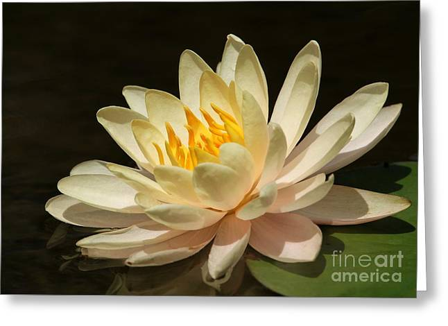 Modern Photographs Greeting Cards - Pristine Water Lily Greeting Card by Sabrina L Ryan
