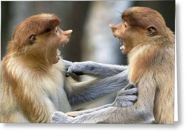 Interacting Greeting Cards - Proboscis Monkey Males Play Fighting Greeting Card by Suzi Eszterhas