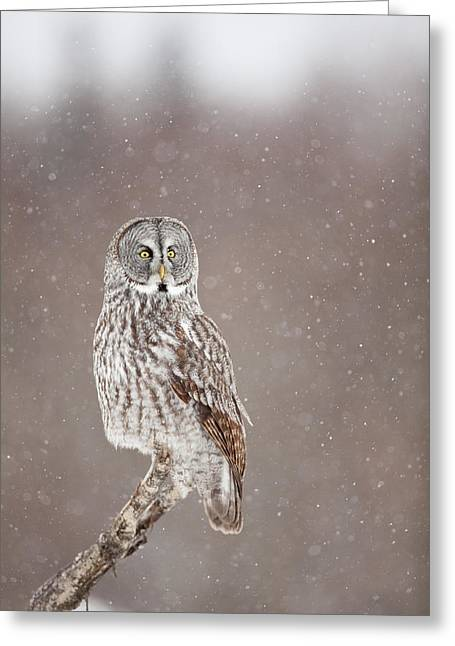 Falcon Hunting Greeting Cards - Profile of a Great Gray Owl Greeting Card by Tim Grams