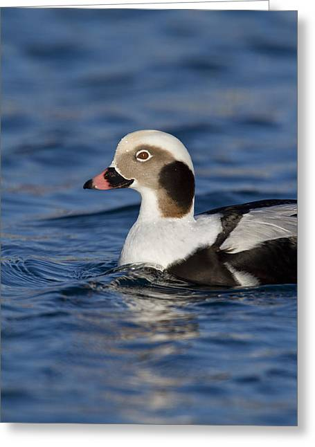 Kodiak Greeting Cards - Profile of a Long-Tailed Duck Greeting Card by Tim Grams