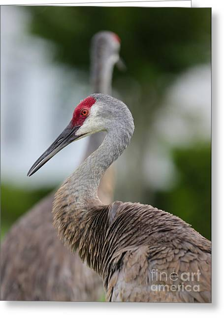 Sandhill Cranes Greeting Cards - Profile of a Sandhill Crane Greeting Card by Carol Groenen