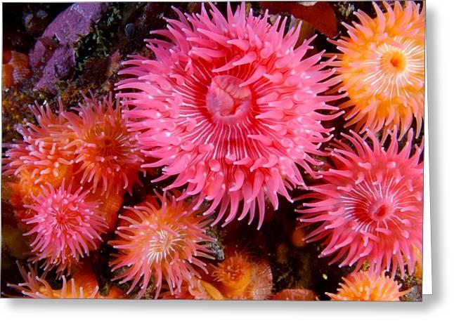 Proliferate Greeting Cards - Proliferating Anemone, Epiactis Greeting Card by Paul Nicklen