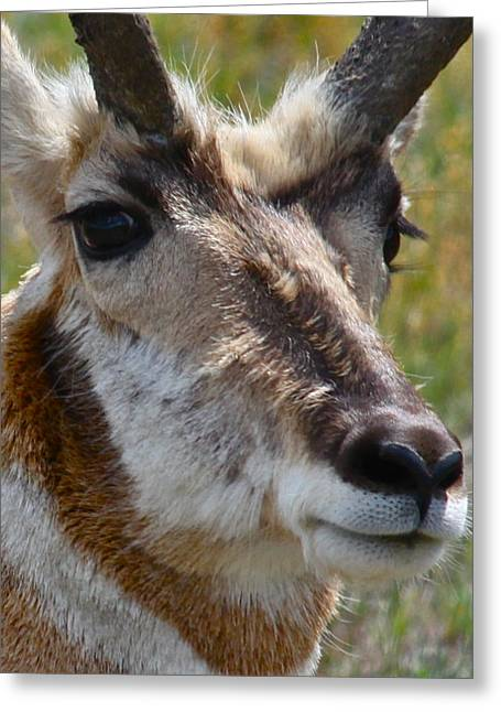 Pronghorn Greeting Cards - Pronghorn Buck face study Greeting Card by Karon Melillo DeVega