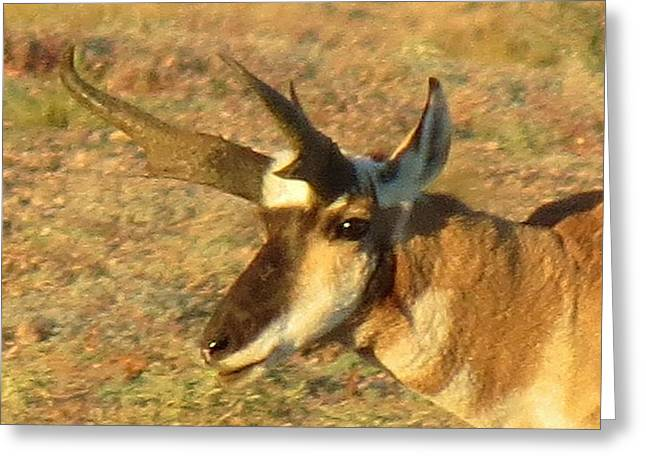 Pronghorn Catching Light Greeting Card by Feva  Fotos