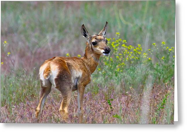 Pronghorn Greeting Cards - Pronghorn Fawn Greeting Card by Karon Melillo DeVega