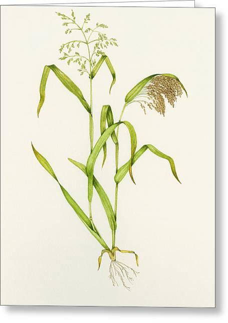 Proso Millet (panicum Miliaceum), Artwork Greeting Card by Lizzie Harper