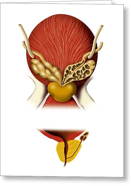 Ureter Greeting Cards - Prostate Gland, Artwork Greeting Card by Art For Science