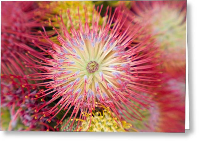 Orange Pin Cushion Greeting Cards - Protea Blossom Greeting Card by Ron Dahlquist - Printscapes