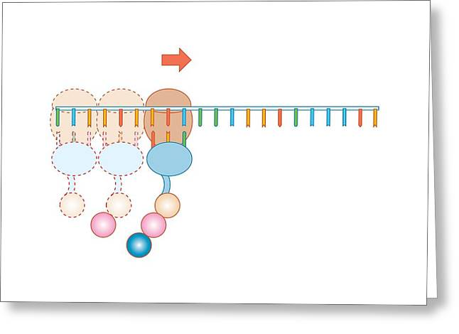 Biochemistry Greeting Cards - Protein Synthesis, Artwork Greeting Card by Peter Gardiner