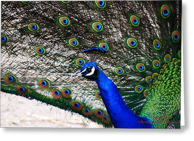 Peacock Greeting Cards - Proud Peacock Greeting Card by Sheryl Cox