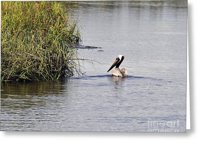 Seabirds Greeting Cards - Proud Pelican Greeting Card by Al Powell Photography USA
