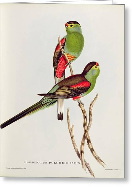 Perching Greeting Cards - Psephotus Pulcherrimus Greeting Card by John Gould