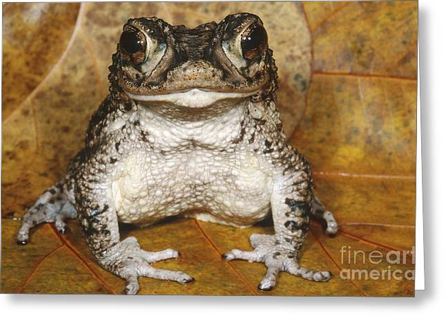 Puerto Rican Greeting Cards - Puerto Rican Crested Toad Greeting Card by Dante Fenolio
