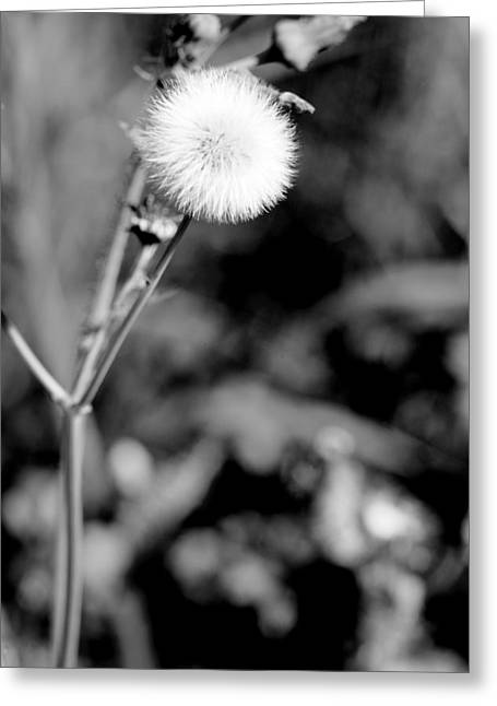 Balls Framed Prints Greeting Cards - Puff Ball In Black and White Greeting Card by M K  Miller