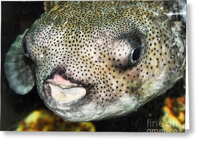 Puffer Greeting Cards - Puffer Fish Portrait Greeting Card by Anne Ferguson