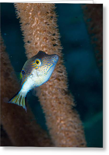 Balloonfish Greeting Cards - Puffer Profile Greeting Card by Jean Noren