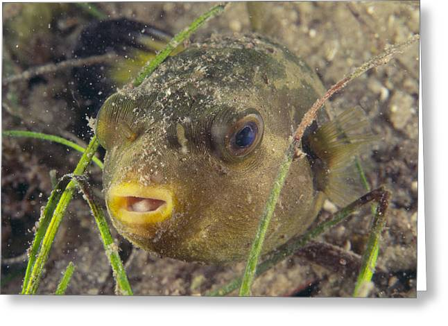 Pufferfish Greeting Cards - Pufferfish Greeting Card by Alexis Rosenfeld