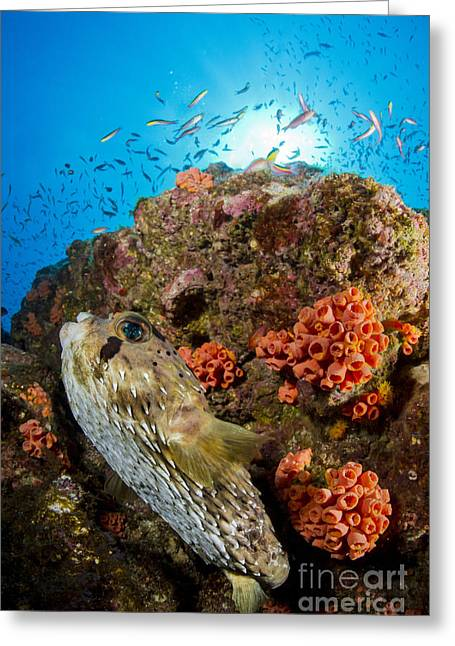 Balloonfish Greeting Cards - Pufferfish And Reef, La Paz Mexico Greeting Card by Todd Winner