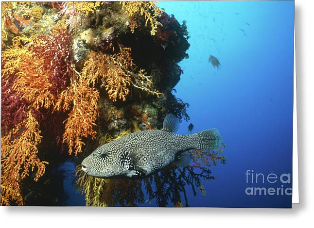 Puffer Greeting Cards - Pufferfish Swimming By Coral Reef, Fiji Greeting Card by Beverly Factor
