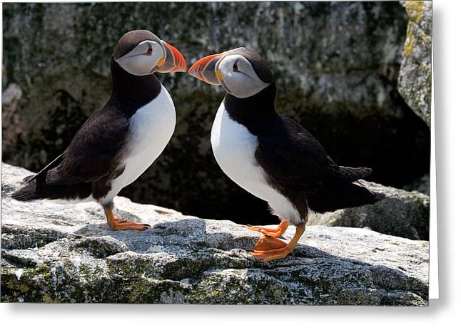Recently Sold -  - Water Fowl Greeting Cards - Puffin Love Greeting Card by Brent L Ander