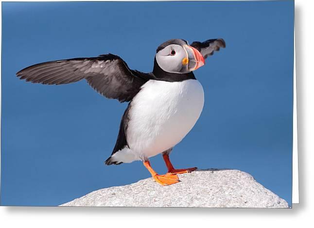 Machias Seal Island Greeting Cards - Puffin Stretch  Greeting Card by Bruce J Robinson