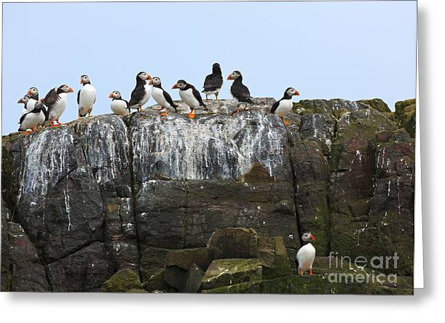 Farne Islands Greeting Cards - Puffins on a Cliff Edge Greeting Card by Louise Heusinkveld