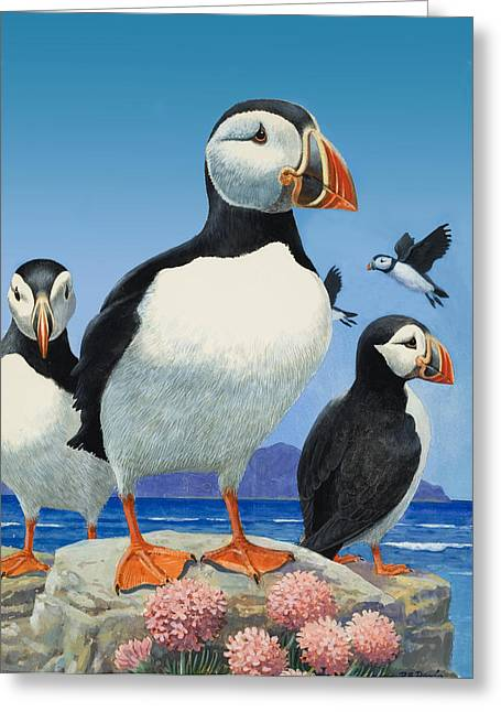 Puffins Greeting Card by R B Davis