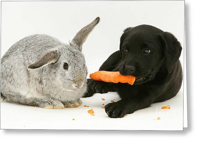 Recently Sold -  - Mixed Labrador Retriever Greeting Cards - Pup Steals Rabbits Carrot Greeting Card by Jane Burton
