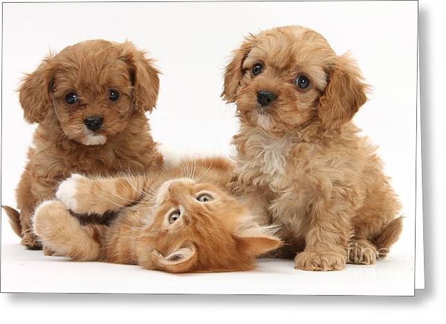House Pet Greeting Cards - Puppies And Kitten Greeting Card by Mark Taylor
