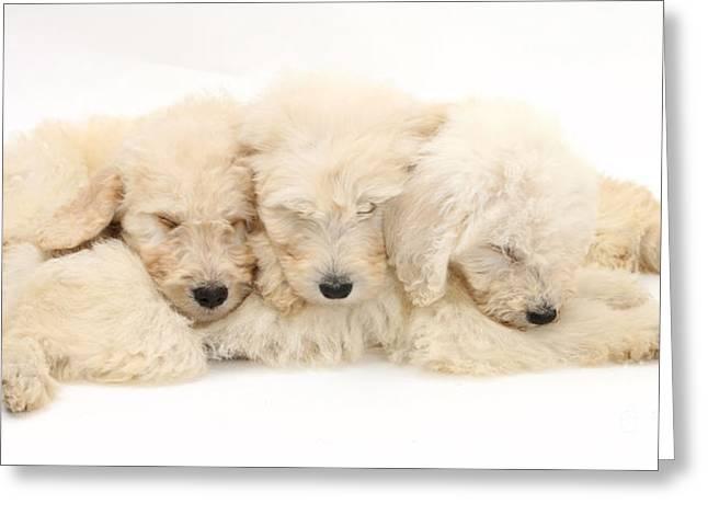 Sleeping Baby Animal Greeting Cards - Puppies Sleeping Greeting Card by Mark Taylor