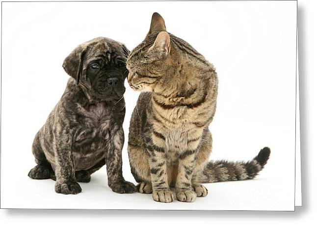 Mastiff Pup Greeting Cards - Puppy And Cat Greeting Card by Jane Burton