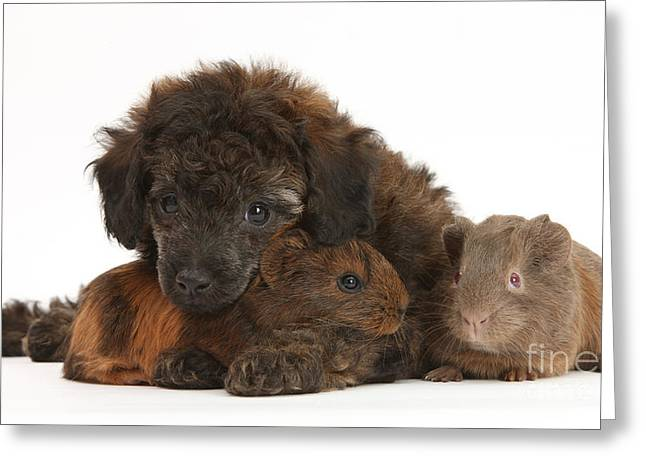 Cavy Greeting Cards - Puppy And Guinea Pigs Greeting Card by Mark Taylor