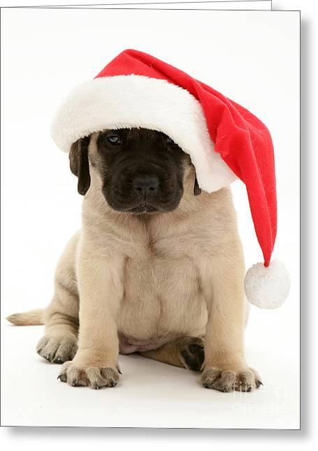 Mastiff Pup Greeting Cards - Puppy In A Santa Hat Greeting Card by Jane Burton