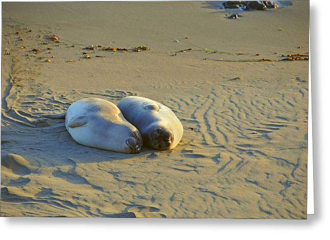 Elephant Seals Greeting Cards - Puppy Love Greeting Card by Lynn Bauer