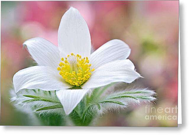 Pulsatilla Vulgaris Greeting Cards - Pure Pasque Greeting Card by Jacky Parker