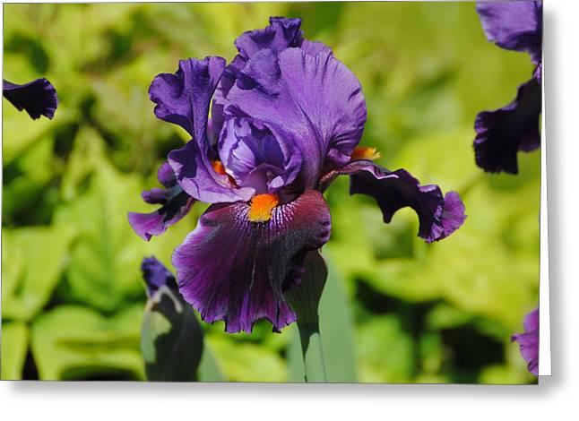 Purple And Orange Iris Flower Greeting Card by Jai Johnson