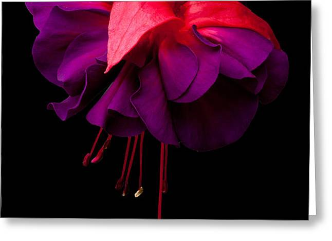 Purple and Pink Beauty Greeting Card by Dawn OConnor