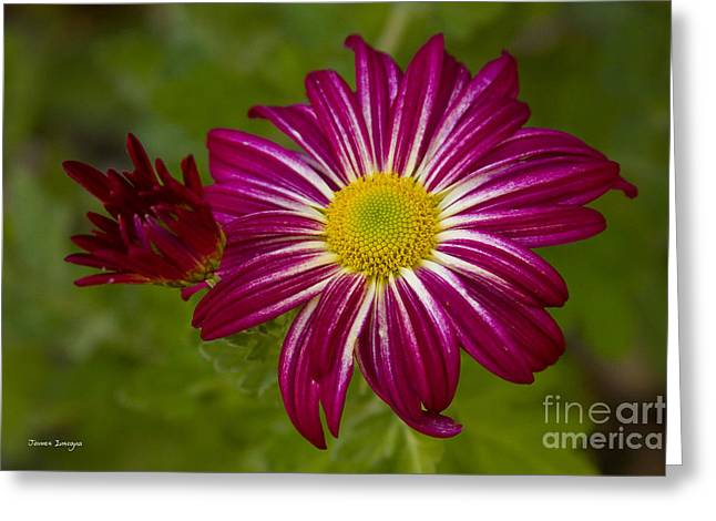 Celebration Art Print Greeting Cards - Purple Aster Flower Close up Greeting Card by James BO  Insogna