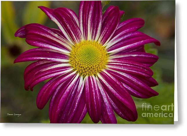Celebration Art Print Greeting Cards - Purple Aster Flower Power Greeting Card by James BO  Insogna