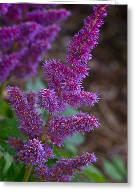 Spirea Greeting Cards - Purple Astilbe Bloom 2 Greeting Card by Douglas Barnett