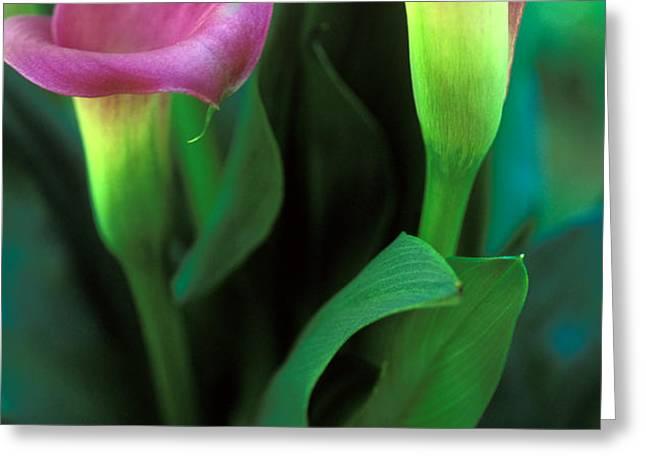 Purple Calla Duet Greeting Card by Kathy Yates