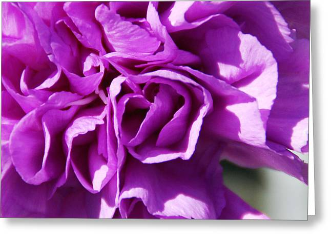 Sunshine Greeting Cards - Purple Carnation Greeting Card by Aimee L Maher Photography and Art