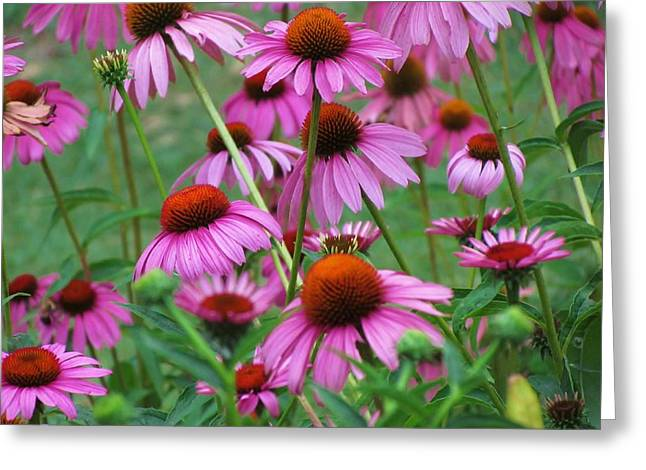 Bravado Greeting Cards - Purple Coneflower Bravado Greeting Card by Ginger Wemett