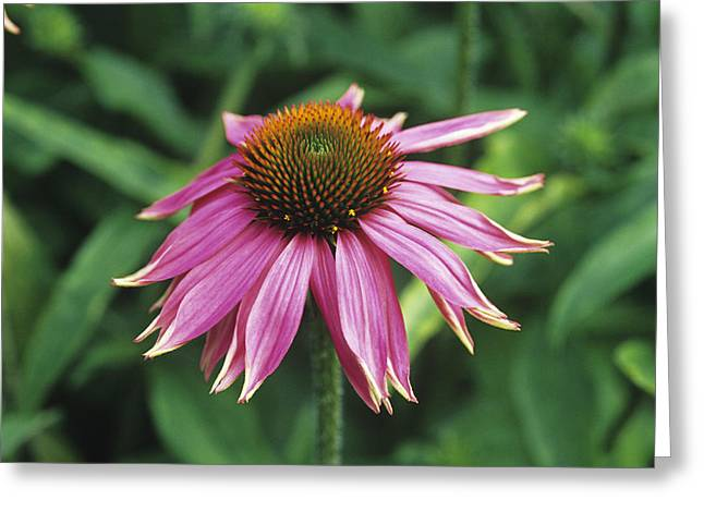 Purple Coneflower Greeting Card by Duncan Smith