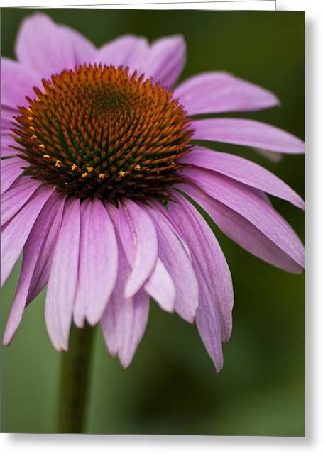 Purple Coneflower Greeting Card by Jason Pryor
