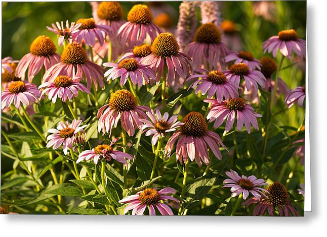 Chicago Botanic Garden Greeting Cards - Purple Coneflower Greeting Card by Steve Gadomski