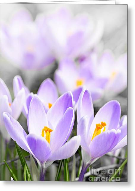 Crocus Greeting Cards - Purple crocus blossoms Greeting Card by Elena Elisseeva