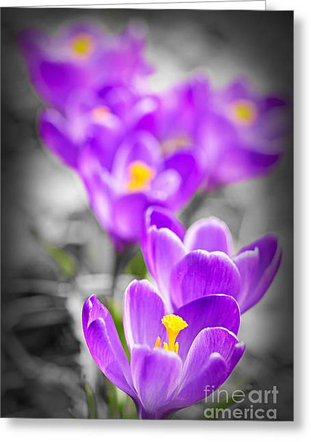 Crocus Flower Greeting Cards - Purple crocus flowers Greeting Card by Elena Elisseeva